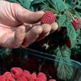 Raspberry Canes For Sale Raspberry Canes Planting R
