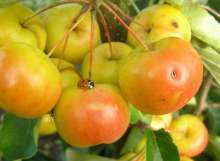 Butterball Crab Apple Trees