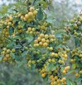 Golden Gem Crab Apple Trees