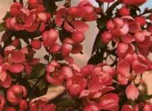 Makamik Crab Apple Trees