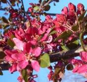 Profusion Improved Crab Apple Trees