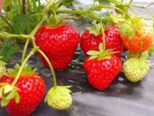 Kimberley - New Strawberry Plants