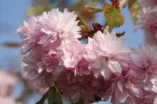 Cheals Weeping Japanese Flowering Cherry Plants