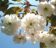 Fragrant Cloud Japanese Flowering Cherry Plants