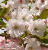 Ichiyo Japanese Flowering Cherry Plants