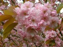 Kanzan Japanese Flowering Cherry Plants