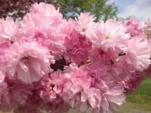 Little Pink Perfection Japanese Flowering Cherry Plants
