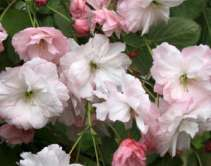 Pink Parasol Japanese Flowering Cherry Plants