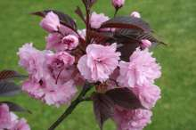 Royal Burgundy Japanese Flowering Cherry Plants