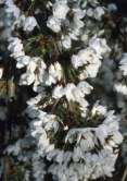 Snowshowers Japanese Flowering Cherry Plants