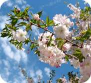 Prunus Autumnalis Rosea Japanese Flowering Cherry Plants