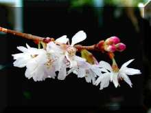 Prunus Autumnalis Japanese Flowering Cherry Plants