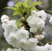 Prunus Avium Plena Japanese Flowering Cherry Plants