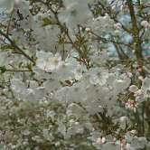 Incisa The Bride Japanese Flowering Cherry Plants