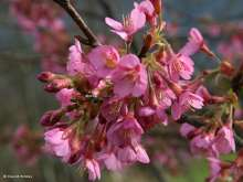 Kursar Japanese Flowering Cherry Plants