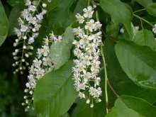 Prunus Padus Japanese Flowering Cherry Plants
