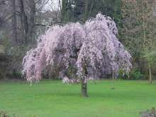 Prunus Pendular Rubra Japanese Flowering Cherry Plants