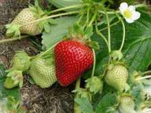 Catskill Strawberry Plants