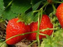 Royal Sovereign Strawberry Plants