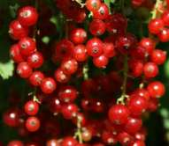 Cherry Redcurrant bush