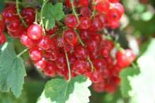 Karlstein Red Redcurrant bush