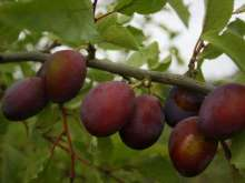 Coopers Large Plum Trees