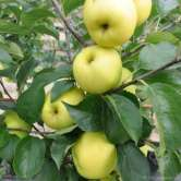 C Grimes Golden apple tree