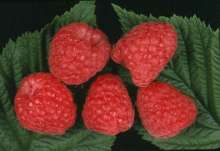 Augusta Raspberry Bushes
