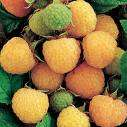 Fallgold Raspberry Bushes