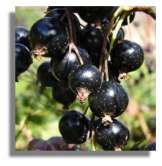 Foxendown - A New Highly Disease Resistant Blackcurrant Bush