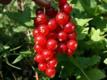 * Junifer Redcurrant Bushes