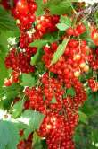 *laxton No.1 Redcurrant Bushes