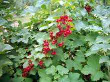 Rondom - Late Season Redcurrant Bushes