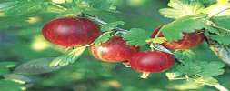 *hino Red Gooseberry Bushes