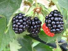 *Adrienne Blackberry Bushes *new*