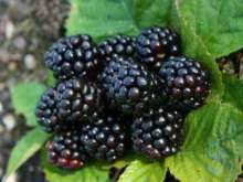 *merton Thornless Blackberry Bushes