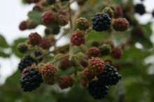 John Innes Blackberry Bushes