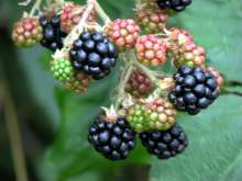 Smoothstem Blackberry Bushes