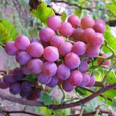 Queen Of Esther Grape Vines