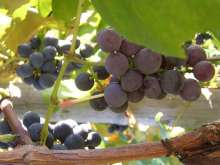 Regent Grape Vines
