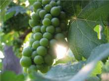 Bacchus Grape Vines