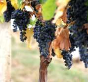 *boscoop Glory Grape Vines
