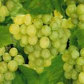 Lakemont Seedless Grape Vines
