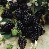 Thornless Youngberry Hybrid Berry Plants
