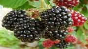 Thornless Boysenberry Hybrid Berry Plants