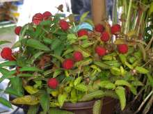 Japanese Strawberry (Illecebrosus) Hybrid Berry Plants