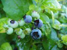 Polaris Blueberry Bushes