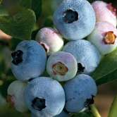 Chandler Blueberry Bushes