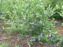 Blue Ray Blueberry Bushes