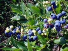 Dixi Blueberry Bushes